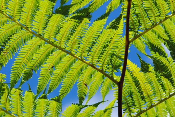 φυτό Cyathea cumingii